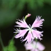カワラナデシコ 奇跡の星の植物館