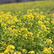 菜の花 4月