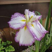 五色 花ショウブ