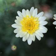 マーガレット 奇跡の星の祝物館・ 花見の庭