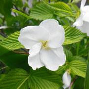 白ヤマブキ 福良