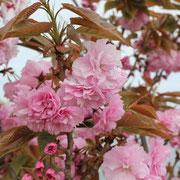 鳴門岬 八重桜