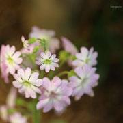 ウンナンサクラソウ 奇跡の星の植物館