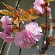 八重桜  潮美台