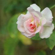 バラ 奇跡の星の植物館
