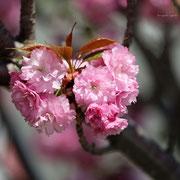 八重桜 護国寺