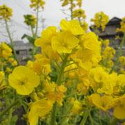 賀集・菜の花