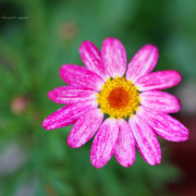 マーガレット  奇跡の星の植物館