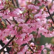 北阿万 緋桜