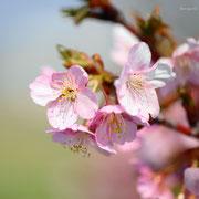 大漁桜 八木