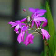 シラン 奇跡の星の植物館