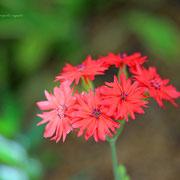 センノウ  奇跡の星の植物館