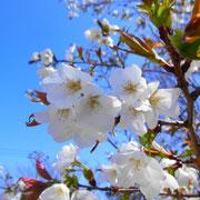 変わり桜 福良