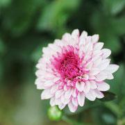スプレーマム 奇跡の星のし植物館