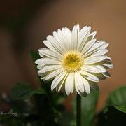 ガーベラ 奇跡の星の植物館