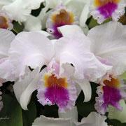 カトレアトレニア オカダ 奇跡の星の植物館