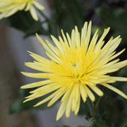 アナスタシア キク 奇跡の星の植物館