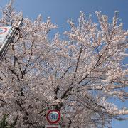 福良交番前の桜