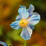 ヒマラヤゲシ 奇跡の星の植物館