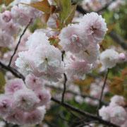 南淡路ロイヤルホテル 八重桜