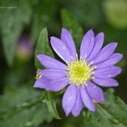 ミヤコワスレ 奇跡の星の祝物館・ 花見の庭