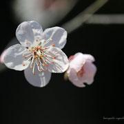 白梅  奇跡の星の祝物館・ 花見の庭