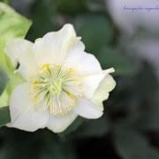 クリスマスローズ 奇跡の星の植物館