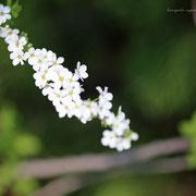 ユキヤナギ 奇跡の星の祝物館・ 花見の庭