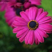 オスティオスペルマム 奇跡の星の祝物館・ 花見の庭