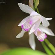 口紅シラン 奇跡の星の植物館