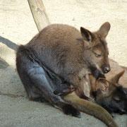 ワラビーと赤ちゃん