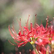 ヒガンバナ 八木