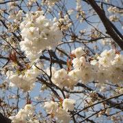 福良・ダントーの早咲き桜