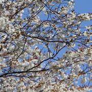 福良・ダントーの早咲き桜 5分咲き