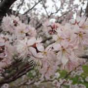 福良・向谷のヒガン桜