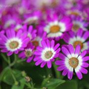 サイネリア 奇跡の星の植物館