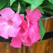 マンデビラ  奇跡の星の植物館