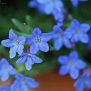 ミヤマホタルカズラ 奇跡の星の植物館
