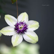 クレマチス 奇跡の星の植物館