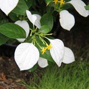 ハンカチの木 奇跡の星の植物館