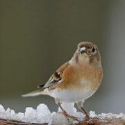 Bergfink Weibchen