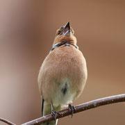 Singendes Buchfink Männchen