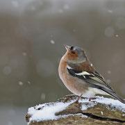 Buchfink Männchen schaut dem Schneetreiben zu