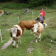 """Muni zu Kuh: """"Das sind aber liebe Schafe..."""""""