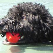 Uva, die Zweitjüngste, darf auch noch nicht mittrainieren - aber den Ball holt sie.... wenn sie Lust hat....
