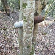 Blindgänger im Baum
