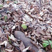 Ein gewohntes Bild in den Wäldern von Verdun - ein Blindgänger im Laub