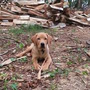 Labradore sind dafür bekannt, dass sie Holz klein machen können.