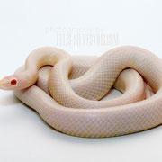 die Phase ist nicht perfekt, die helle Schlange auf dem weißen Hintergrund setzt ihre zarten Fraben aber perfekt um