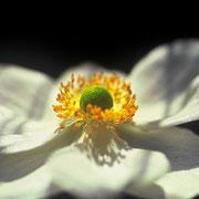 Gartenanemone